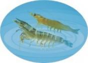 南美白对虾的生态习性与病害关系