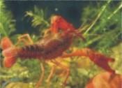 小龙虾的生物学特性