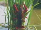 稻虾养殖模式